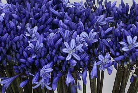 Blue wedding flower agapanthus