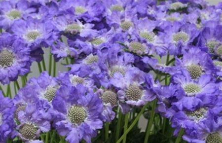 Blue wedding flower scabious