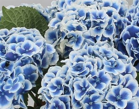 Blue wedding flower Hydrangea